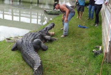 Monster Gator Found in Liberty County is Record Setter