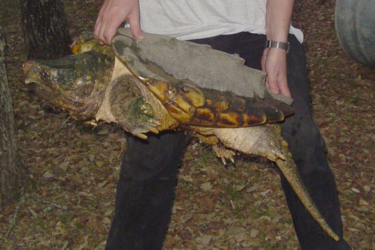 4 Charged With Illegal Trafficking of Threatened Alligator Snapping Turtles
