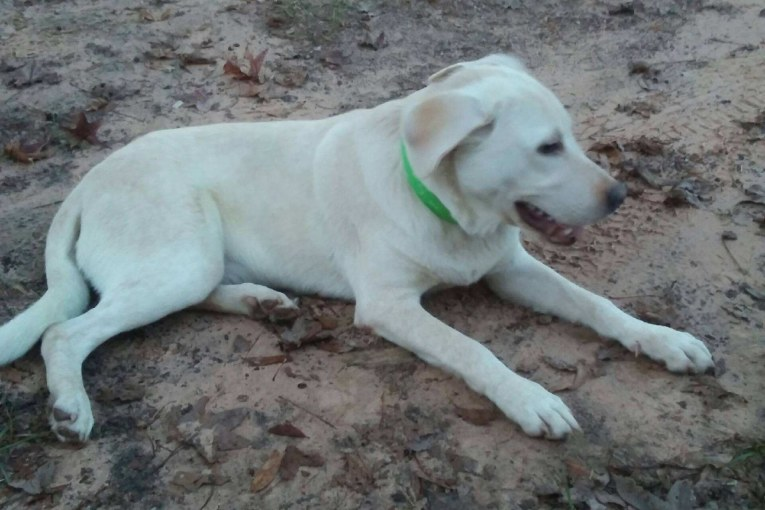 YELLOW LAB PUP FOUND IN CUT AND SHOOT