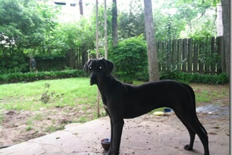 GREAT DANE FOUND IN CONROE