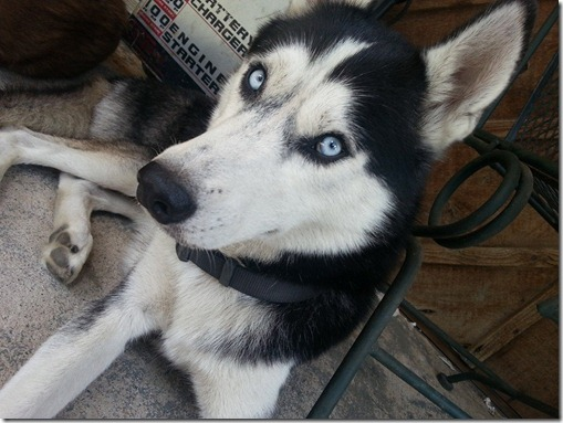 MISSING HUSKY FROM PATTON VILLAGE AREA